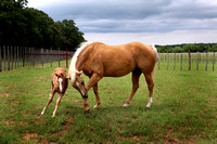 Weatherford Equine Mares and Foals 2014